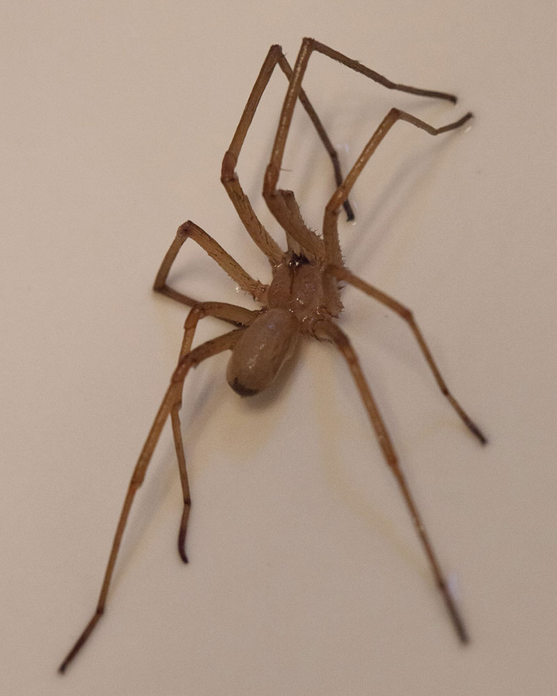 How to Identify and Misidentify a Brown Recluse Spider